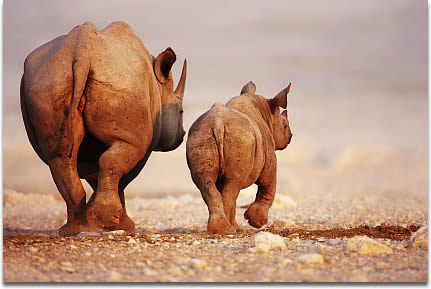black-rhino-mother-and-calf